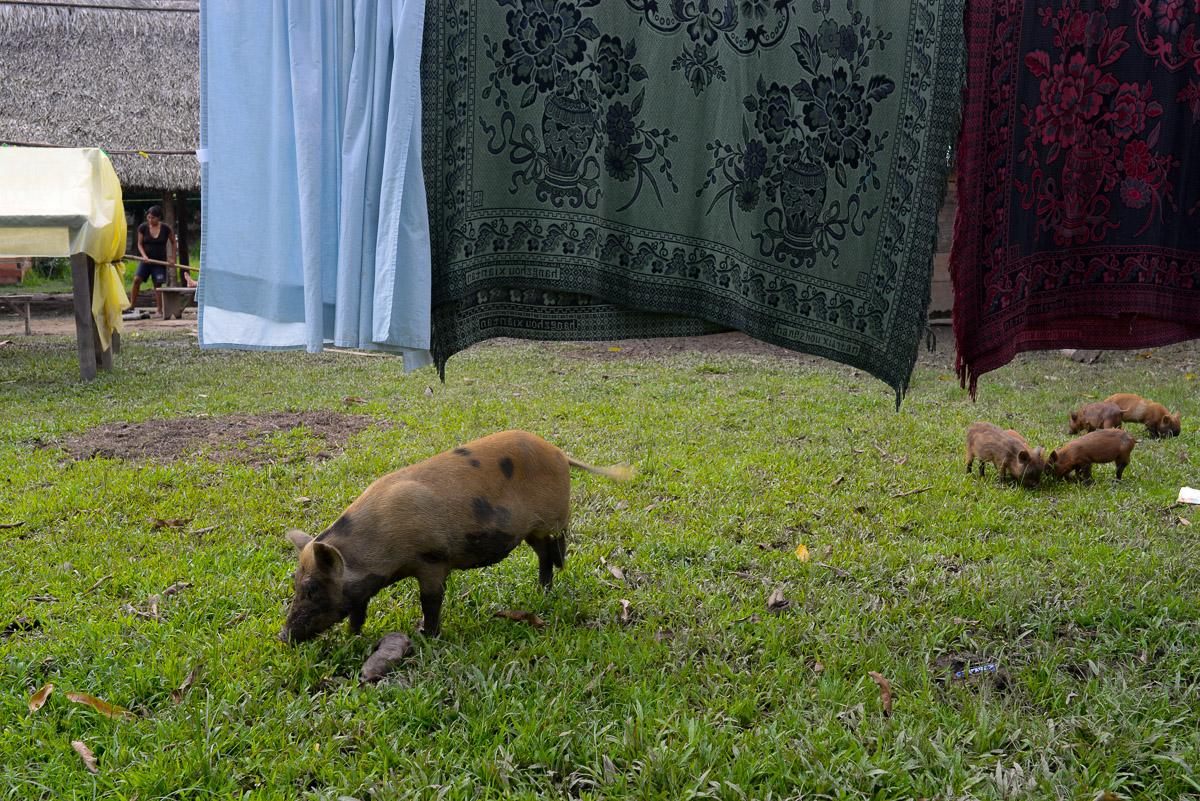 <h5>El Carmen del Emero</h5><p>Uma família de porcos alimenta-se à porta de uma família de residentes de Carmen del Emero, a maior localidade nos 1000km do rio Beni que percorremos. Em parte devido à riqueza proporcionada pelo cacau, que a comunidade produz em relativa abundância, foi possível construir um posto médico em alvenaria e montar balizas e uma rede de vólei, luxos incomuns nestas paragens.</p>