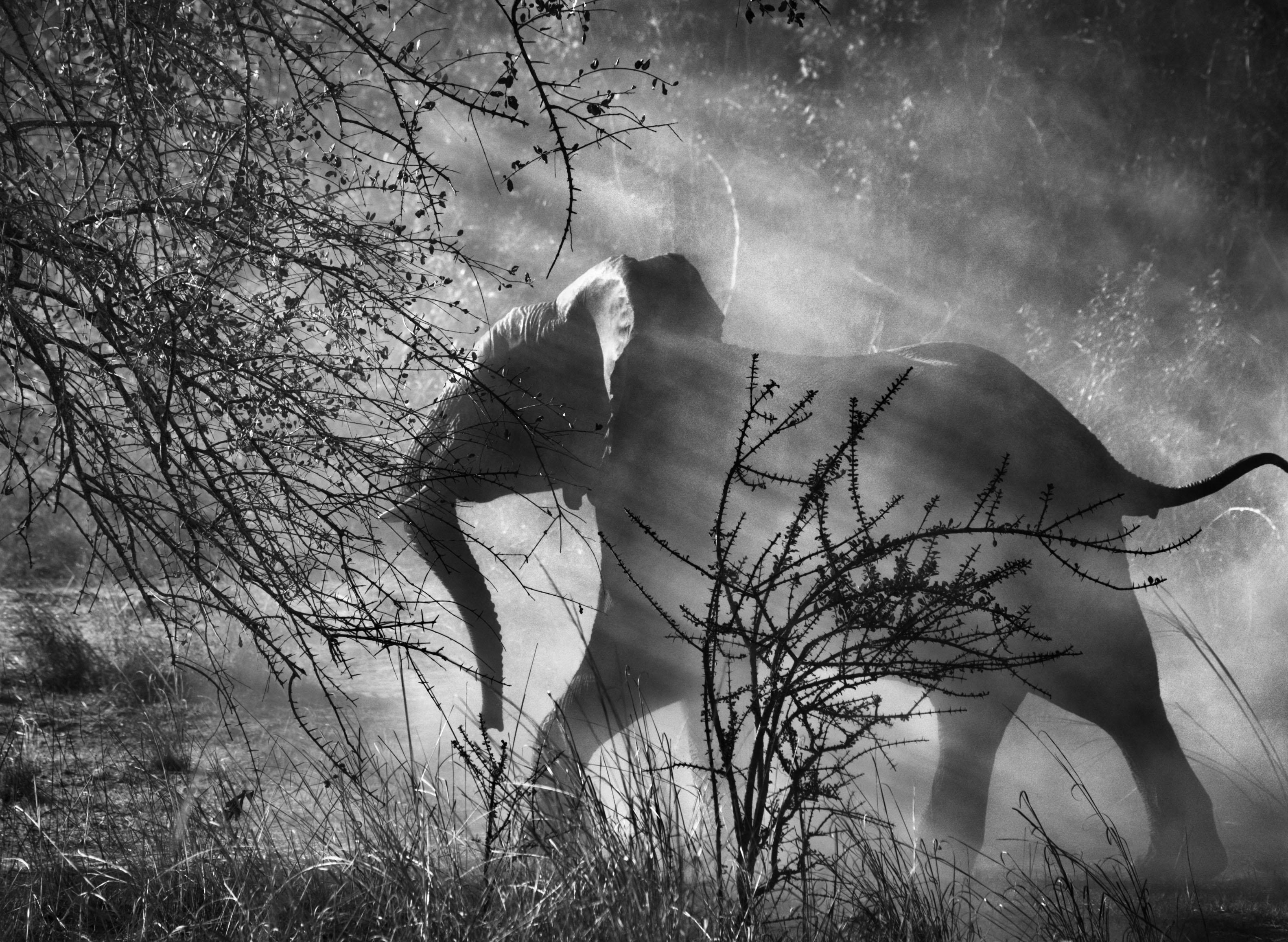 <p>Perseguidos por caçadores furtivos na Zâmbia, os elefantes (Loxodonta africana) têm medo dos homens e dos veículos, e geralmente, entram rapidamente no mato, assustados. Parque Nacional de Kafue, Zâmbia. 2010.</p>
