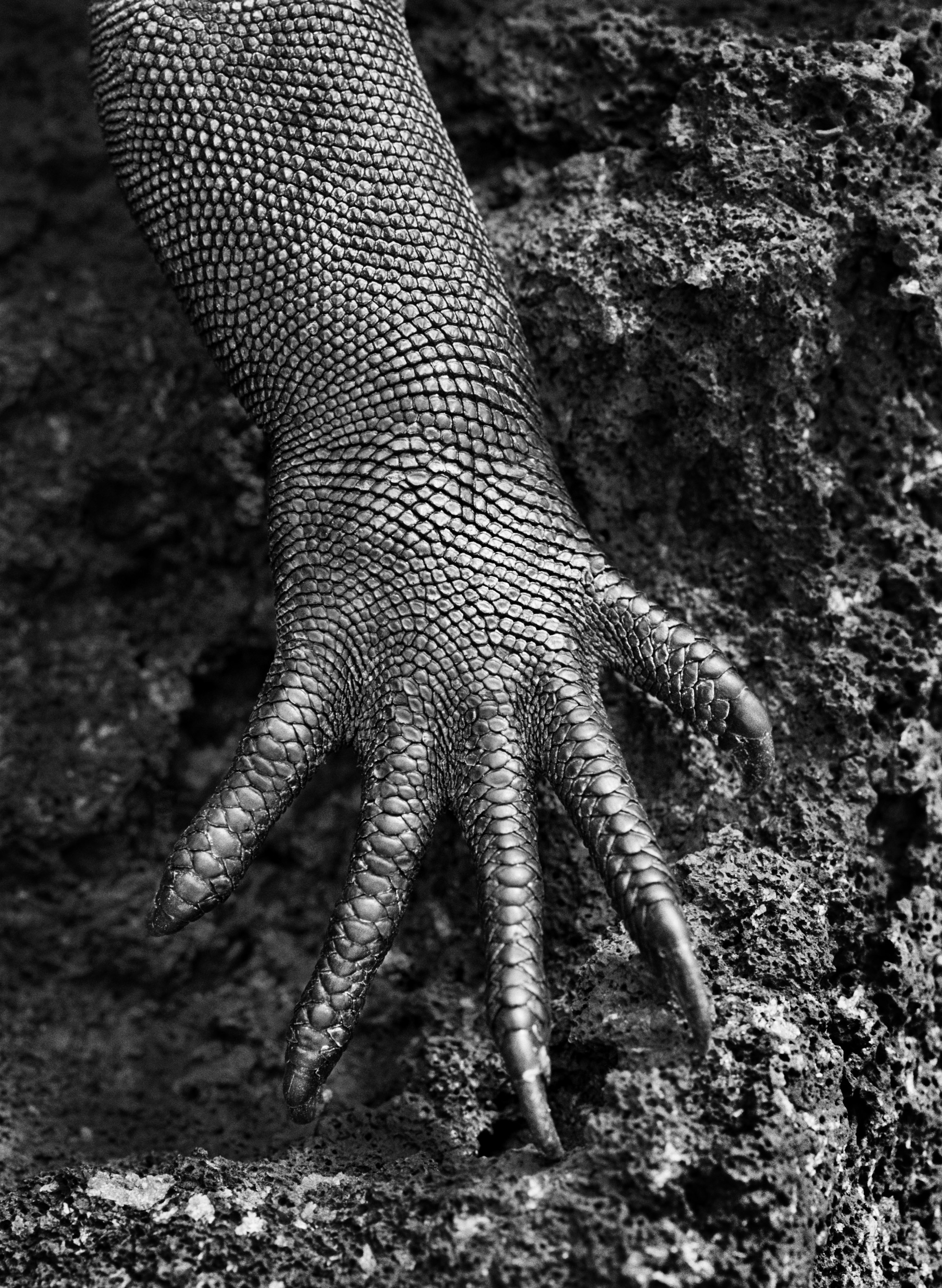 <p>Iguana-marinha (Amblyrhynchus cristatus). Galápagos, Equador. 2004.</p>